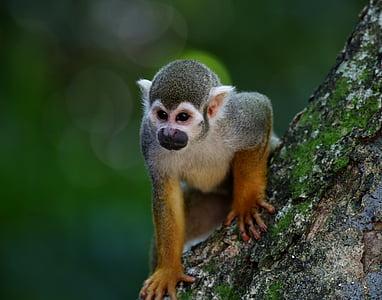 mico perfumades, primats, animal, salvatge, a l'arbre, hàbitat natural, mamífer