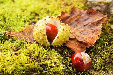 kastan, Kastanipuu, kastanilehtedesse, Sügis, puu, pruun, lehed