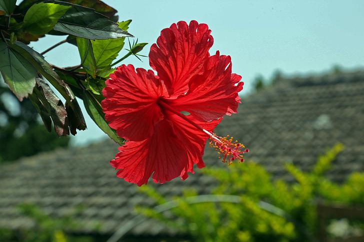 Cveće - Page 21 Hibiscus-hashigo%E6%A2%A7-okinawa-flowers-preview