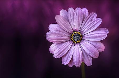 花, 紫色, lical, 不老神, 美丽, 美, 绽放