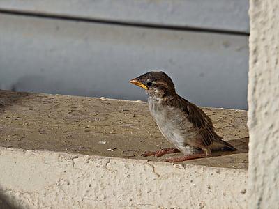 врабче, птица, малка птичка, лети, Dom, Криле, младите