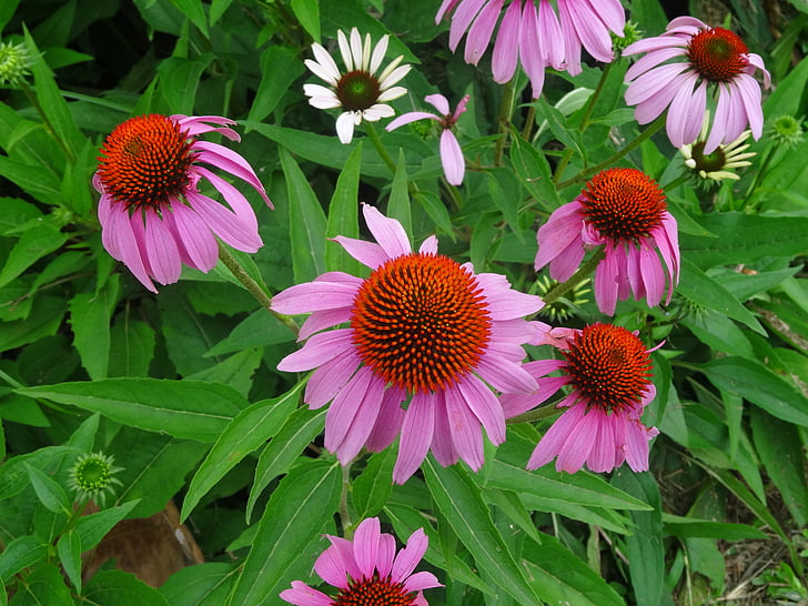 echinacea, flower, herbal flower