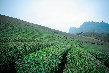 moc chau čaj doi, moc chau brdo, moc chau sin la, plantaža čaja srce, moc chau čaj brda, Poljoprivreda, polje