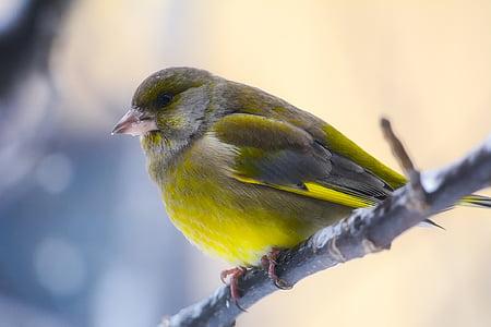 ptica, biljni i životinjski svijet, šarene, boje, slatka, makronaredbe, krupne