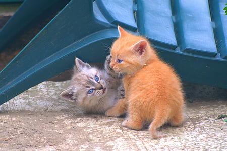 gatets, animals de companyia, gat, valent, petit, jove, gat domèstic