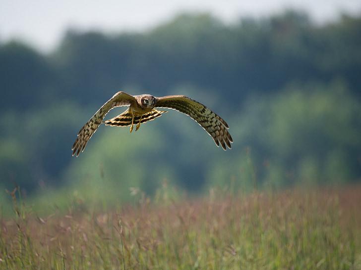 Северна блатар, птица, плаващи, дива природа, природата, на открито, Криле