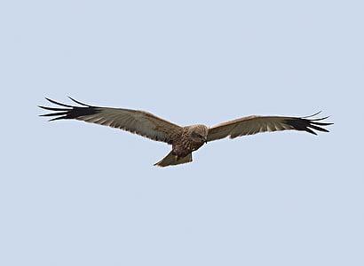 eläimistö, Linnut, Falco, Predator, yksi eläin, Flying, eläinten wildlife