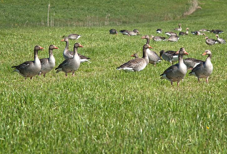gri gâscă, pasăre migratoare, natura, gâşte, păsările migratoare, animale, gâscă