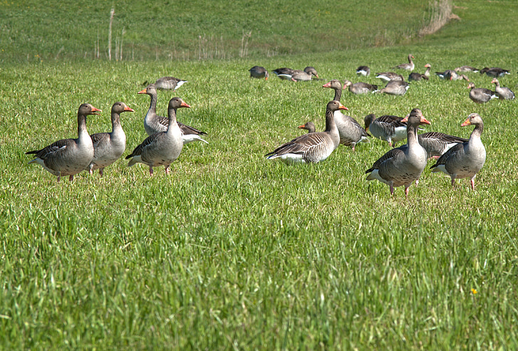 grey geese, migratory bird, nature, geese, migratory birds, animal, goose