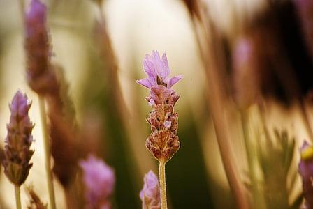 lavanda, flor, macro, jardí, l'estiu, violeta, primavera