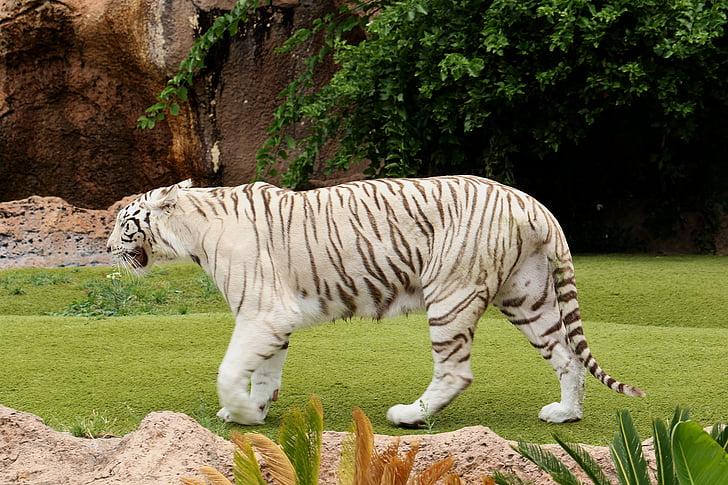 Fotografie Gratuită Tigru Tigru Alb Sălbatici Cat