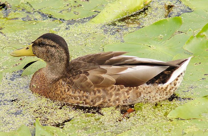 Duck, tiik, vee, vee lind, ujuda, sulestiku, loodus