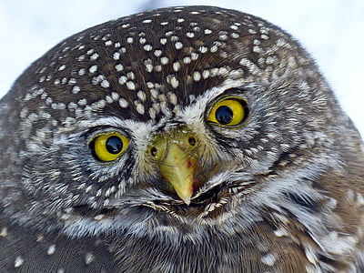 бухал, младите, животните, птица, граблива птица, дива природа, едър план
