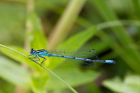 dragonfly, macro, close, insect, animal, blue dragonfly, macro photography