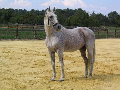 con ngựa, động vật, trắng, ngựa, Cưỡi ngựa, con ngựa trắng, động vật