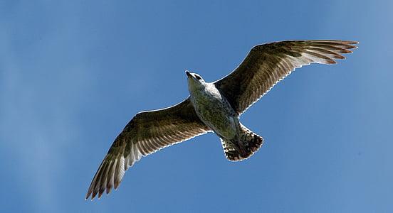 lokki, lintu, luonnon kauneutta, Flying, levittää siivet, yksi eläin, villieläimet