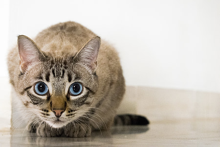 kočka, zvířata, domácí zvíře, kočičí pohled, oči, kočičí oči, modré oči