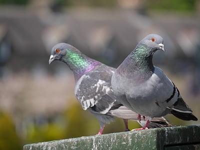 holub, vták, dvojica, Park, plemeno, zameraním, Farba