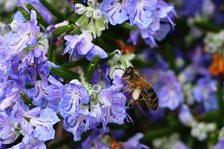abella, romaní, pol·len, flor, porpra, insecte, un animal