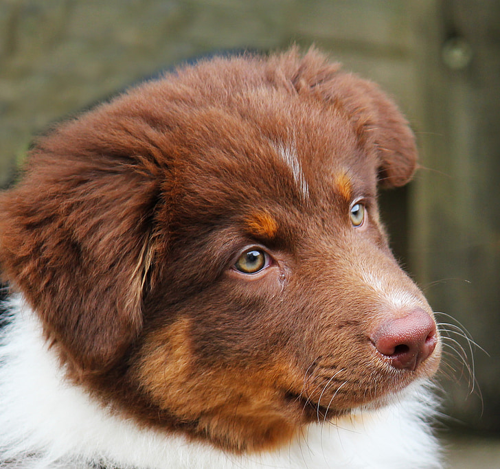 dog, young, young dog, cute, purebred dog, puppies, small dog