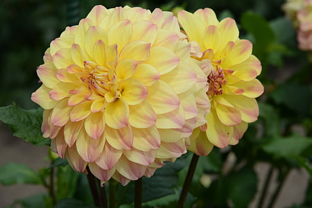 dahlia, bloom, nature, yellow, petals, flower, petal
