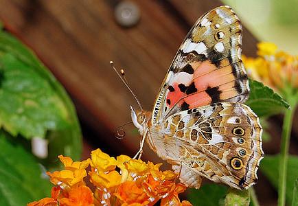 Vanessa cardui, leptir, kukac, cvijet, šarene, Zatvori, boja