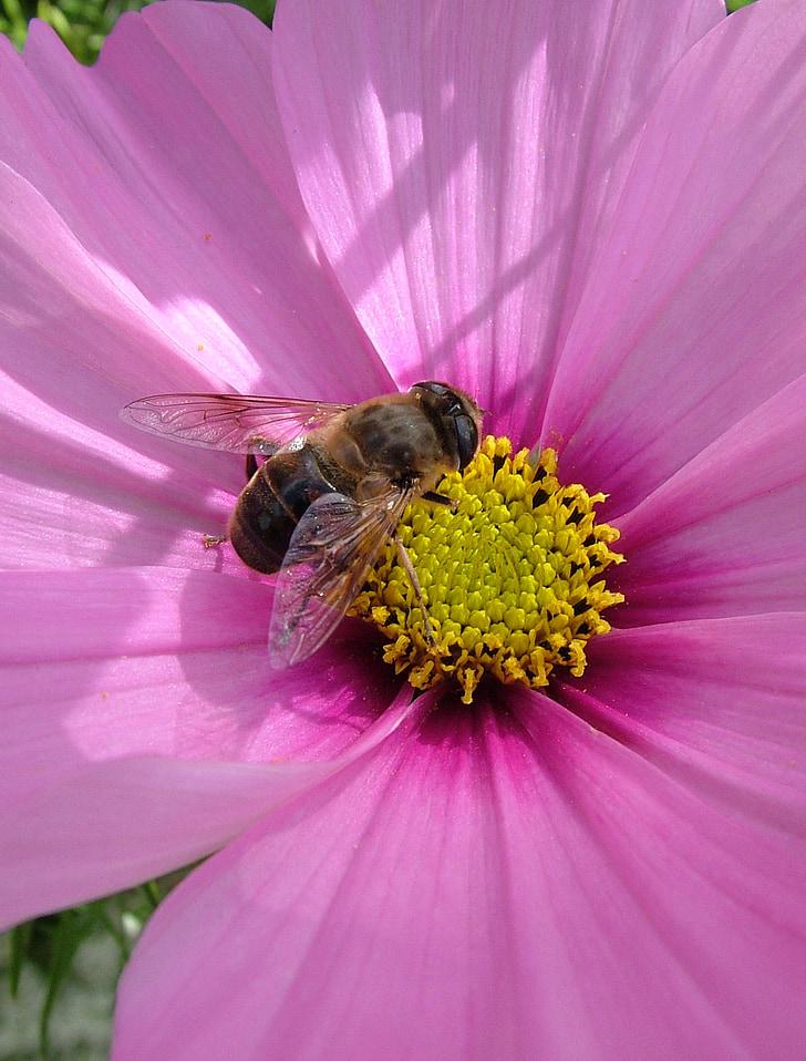 цвете, пчела, Есен, насекоми, растителна, лилаво, природата