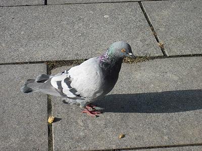Dove, vták, stojace, perie, mesto holub