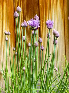 cibulet, floració, herba, porpra, verd, fresc, planta