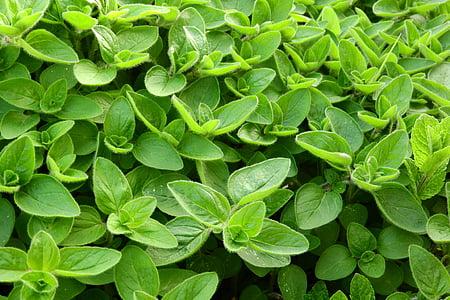 Marjolaine, cuisine, herbes en cuisine, épices, feuillage, Origanum majorana, feuille