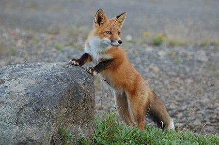 Fuchs, Tierwelt, Natur, Predator, Vulpes vulpes, Wildnis, Wild