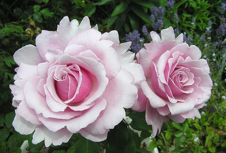 ružová, neba, vôňa