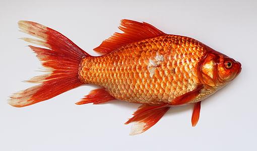 peixos de colors, carassius, peix, d'or, vermell, animal, carpa