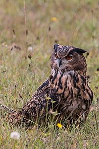 бухал, bubo bubo, бухал, птица, перо, природата, дива птица