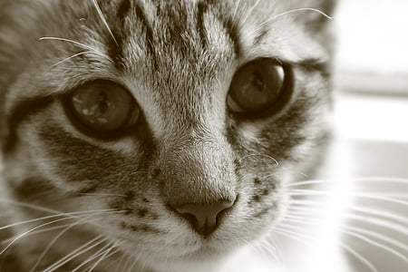 γάτα μωρό, γάτα, γατάκι, γατάκια, σκουμπρί, μάτια της γάτας