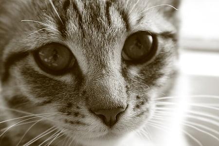 котка baby, котка, коте, котенца, скумрия, котешки очи
