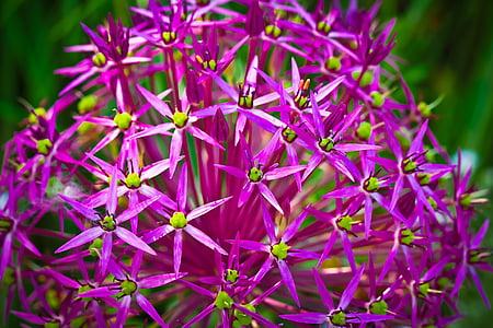 Dekoratiivne sibul, lill, õis, Bloom, lilla, taim, kevadel