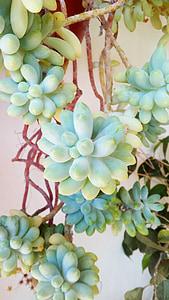 pianta, succulente, lorda di pavimento, pianta succulenta, pianta del deserto, Priorità bassa, pianta verde