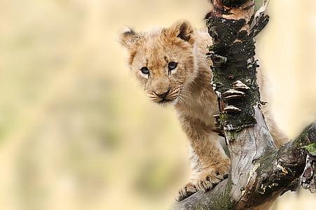 lion, animal, nature, predator, big cat, wild, panthera leo