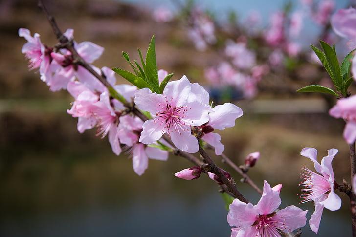 flor de préssec, primavera, Rosa