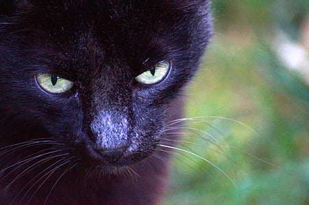 cat, animal, cat eyes, cat face, cat head, black cat, feline