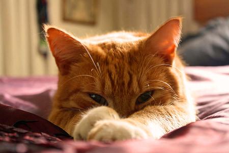 gat, gat taronja, gat gingebre, tom gingebre, animal de companyia, valent, ulls