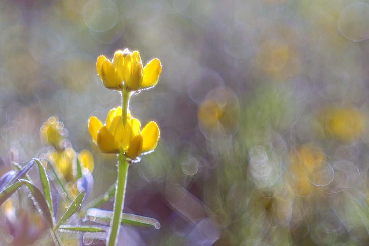 gėlė, geltona, pieva, spalvos, Rosa, Bokeh, užtamsinti