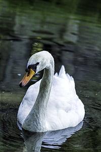 swan, bird, swans, lake, water, water bird, feather