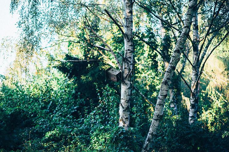 metsa, puud, Kask, loodus, roheline, suvel, puit