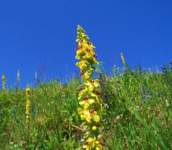 Goveji rep plevela, rumena divjih rož, barvita travnik, modro nebo