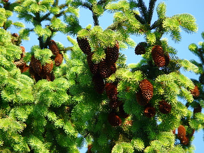 pine cones, tap, tree, conifer, common spruce, picea abies, red spruce
