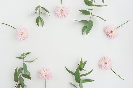 flors, fons, natura, planta, flor, color rosa, fons