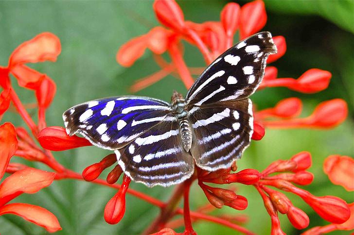 vlinder, insecten, vlinders, insect, natuur, Monarch, bloemen