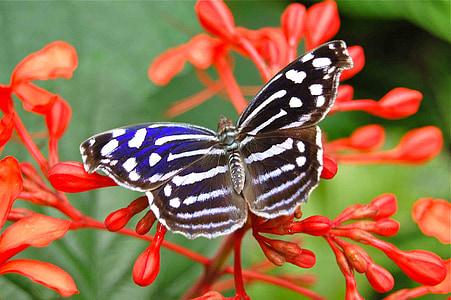 пеперуда, насекоми, пеперуди, насекоми, природата, монарх, цветя